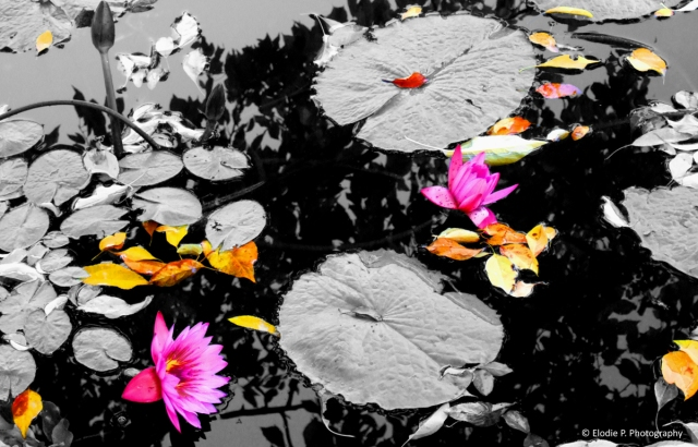 20150917 - fall on water lilies